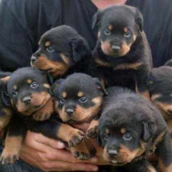 Baby Rottweiler Puppies For Sale