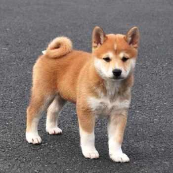 Baby Shiba Inu For Adoption