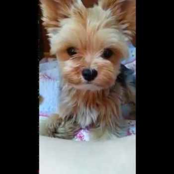 Baby Yorkshire Terrier