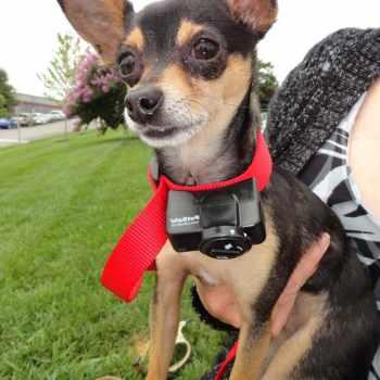 Bark Collar Chihuahua