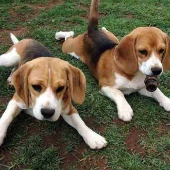 Basset And Beagle Rescue
