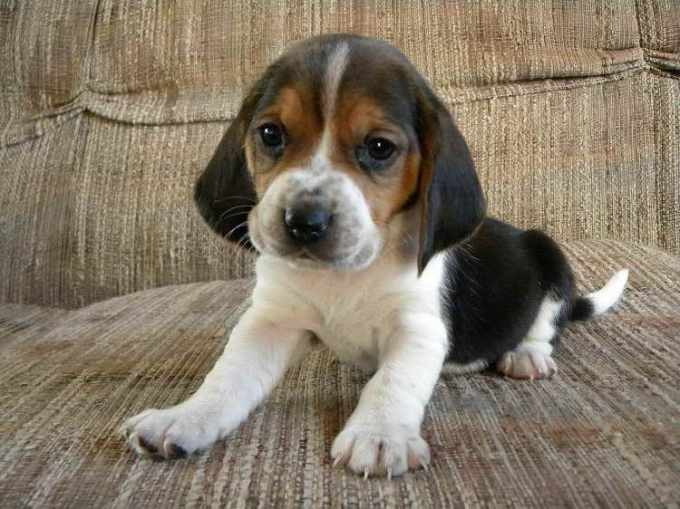 Basset Beagle Mix Puppies For Sale