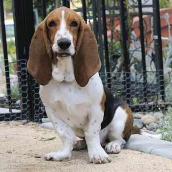 Basset Beagle Mix