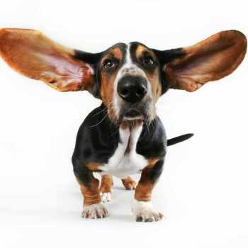 Basset Hound Ear Cleaning Solution