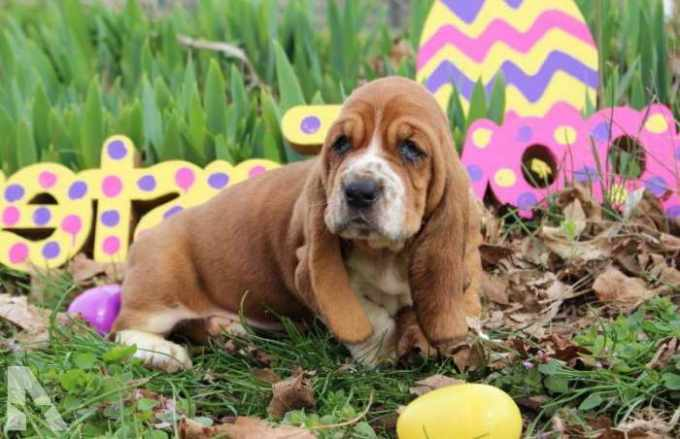 Basset Hound For Sale In Kentucky