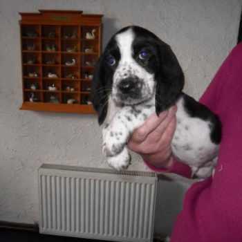 Basset Hound Mix Puppies For Sale