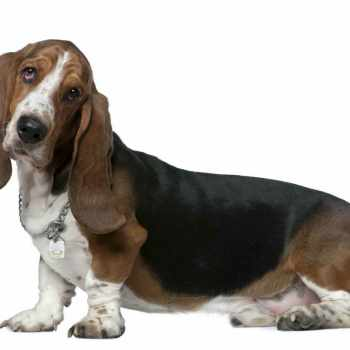 Basset Hound Odor Remedy