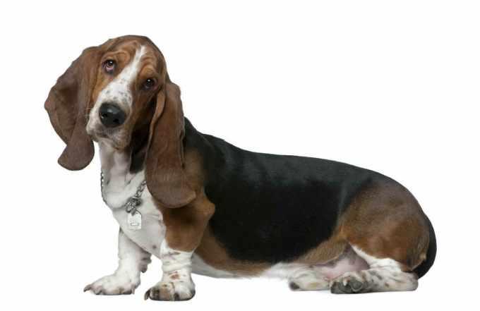Basset Hound Odor Remedy