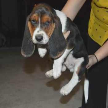 Basset Hound Puppies Austin Texas