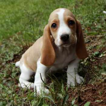 Basset Hound Puppies For Sale Georgia