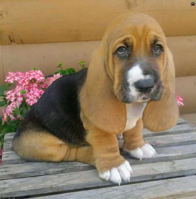 Basset Hound Puppies For Sale In Colorado