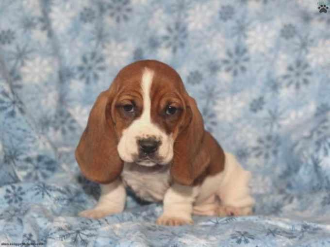 Basset Hound Puppies For Sale In Wisconsin