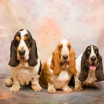 Basset Hound Puppies For Sale Seattle
