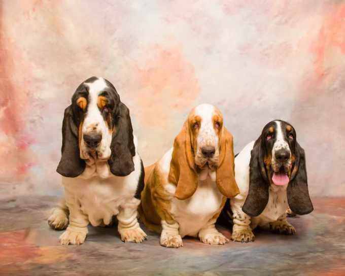 Basset Hound Puppies For Sale Seattle