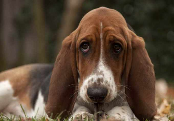Basset Hound Puppies For Sell