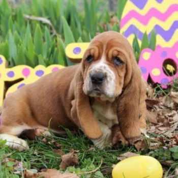Basset Hound Puppies Kentucky