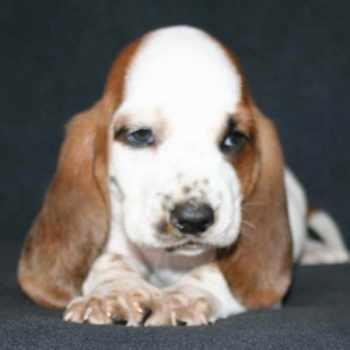 Basset Hound Puppies Los Angeles