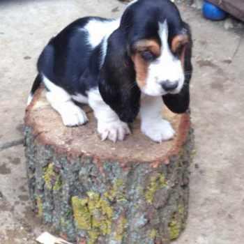 Basset Hound Puppies Maine