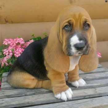 Basset Hound Puppies Ohio