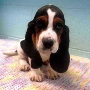 Basset Hound Puppies Pennsylvania