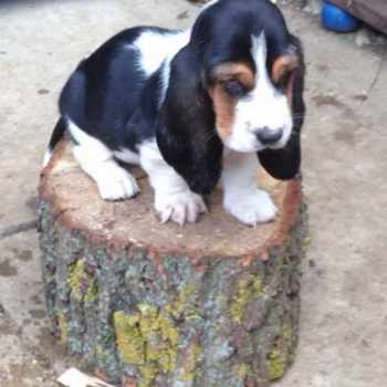 Basset Hound Puppies Washington