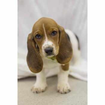 Basset Hound Puppies Wichita Ks
