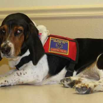 Basset Hound Service Dog