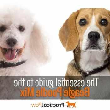 Beagle And Poodle