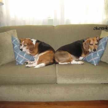 Beagle Bookends