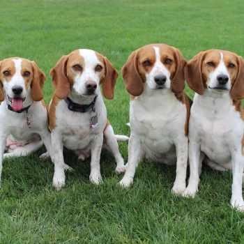 Beagle Breeders Az