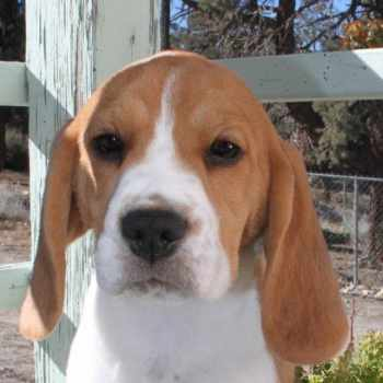 Beagle Breeders California