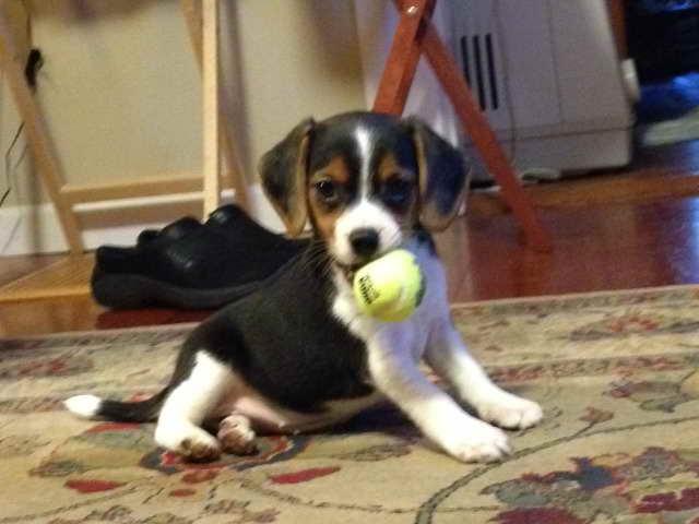 Beagle Breeders Oregon