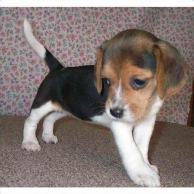 Beagle Breeders South Florida