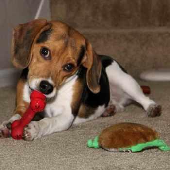 Beagle Breeders Wisconsin