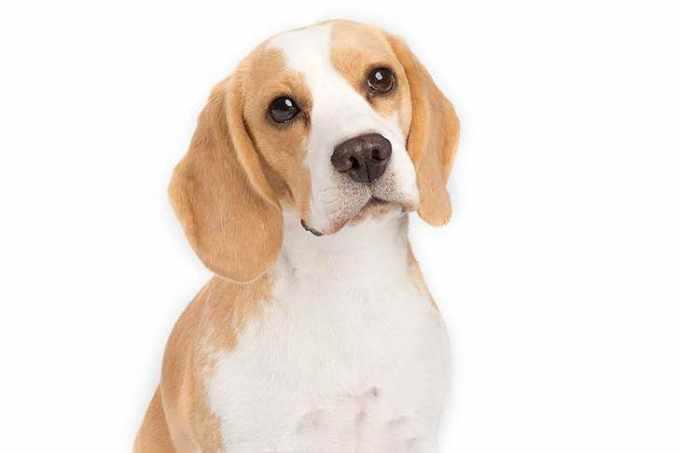 Beagle Breeds
