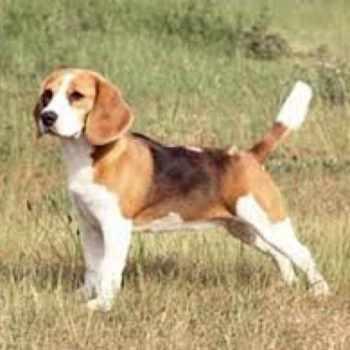 Beagle Brigade Adoption