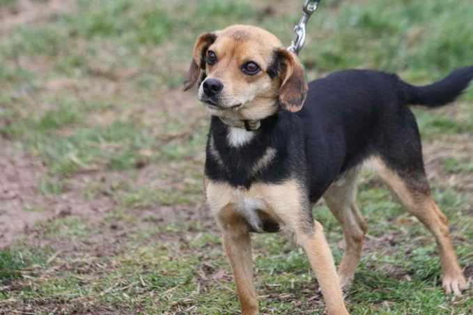 Beagle Chihuahua Mix For Sale