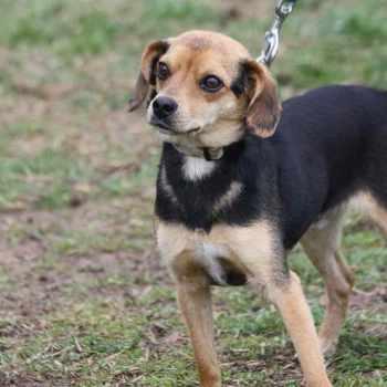 Beagle Chihuahua Puppy