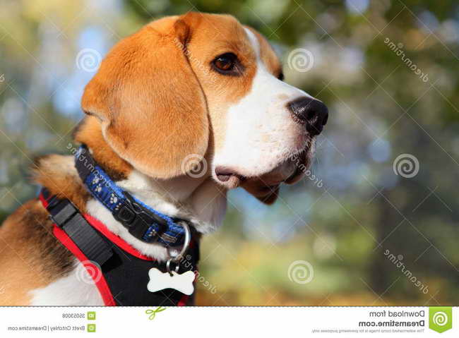 Beagle Collars