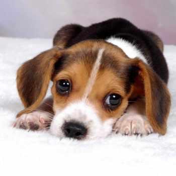 Beagle Cost