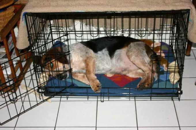Beagle Crate Size