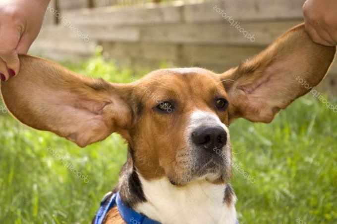 Beagle Ears