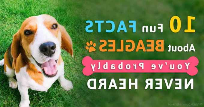 Beagle Facts
