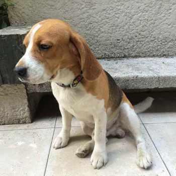 Beagle Freedom Project Adoptions