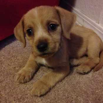 Beagle Golden Retriever Mix For Sale