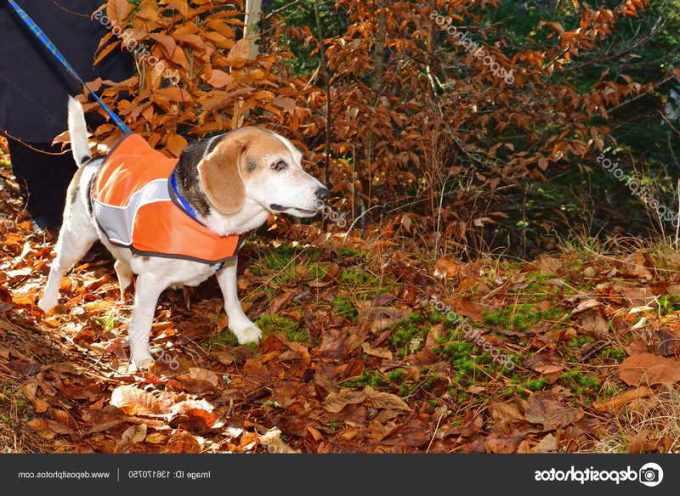 Beagle Hunting Vest