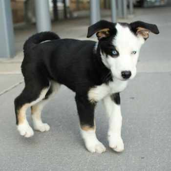 Beagle Husky Mix Puppies For Sale