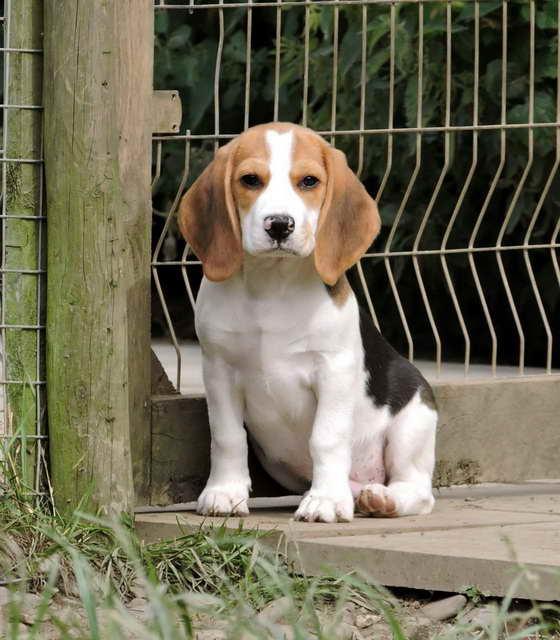 Beagle Kennel