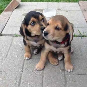 Beagle Lab Mix For Sale