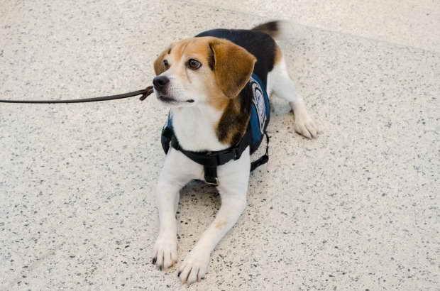 Beagle Miami